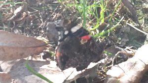 Das ist das Pfauenauge. Er saß nur 3 Schritte von Nela entfernt !