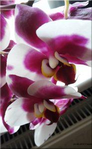 Janine_Orchidee_28062016b