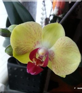 Meine Orchis ....sie kommen immer wieder