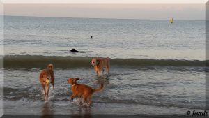 Seehund beobachtet Landhunde